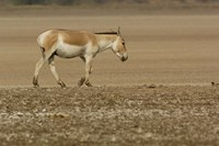 Asiatic Wild Ass, Donkey, Gujarat, INDIA by Pete Oxford - various sizes