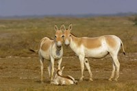 Group of Asiatic Wild Ass,  Gujarat, INDIA by Pete Oxford - various sizes, FulcrumGallery.com brand