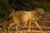 Golden Jackal wildlife, Bharatpur NP, Rajasthan. INDIA by Pete Oxford - various sizes, FulcrumGallery.com brand