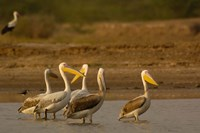 Great White Pelican bird, Velavadar, Gujarat, SW INDIA by Pete Oxford - various sizes - $37.99