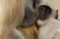 Hanuman Langur monkey feeding, Ranthambhore NP, Rajasthan INDIA by Pete Oxford - various sizes, FulcrumGallery.com brand