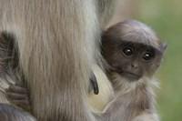 Hanuman Langurs baby monkey, Mandore, Rajasthan. INDIA by Pete Oxford - various sizes, FulcrumGallery.com brand