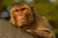 Rhesus Macaque, Bird, Bharatpur. Rajasthan. INDIA by Pete Oxford - various sizes, FulcrumGallery.com brand