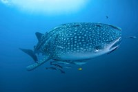 Bay Whale shark and remoras by Jaynes Gallery - various sizes