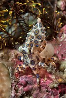 Blue-ring octopus and coral, Raja Ampat, Papua, Indonesia Fine Art Print