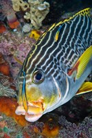 Cleaner fish with sweetlip fish, Raja Ampat, Papua, Indonesia by Jaynes Gallery - various sizes, FulcrumGallery.com brand
