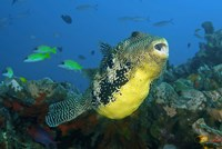 Close-up of puffer fish by Jaynes Gallery - various sizes, FulcrumGallery.com brand