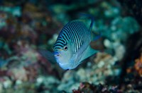 Bay Close-up of angelfish by Jaynes Gallery - various sizes
