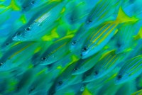 Abstract close-up of snapper fish, Raja Ampat, Papua, Indonesia by Jaynes Gallery - various sizes