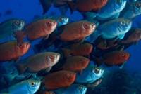 Bigeye fish Fine Art Print