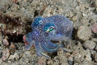 Bobtail squid marine life by Jaynes Gallery - various sizes