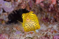 Box fish swims amid coral Fine Art Print