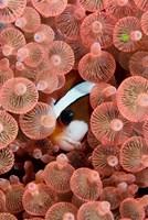 Clark's anemonefish Fine Art Print