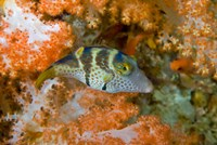 Close-up of pufferfish, Raja Ampat, Papua, Indonesia by Jaynes Gallery - various sizes