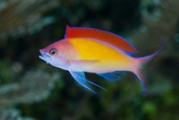 Colorful anthias fish by Jaynes Gallery - various sizes