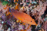 Coral trout swims among reef Fine Art Print