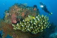 Diver and schooling sweetlip fish next to reef, Raja Ampat, Papua, Indonesia by Jaynes Gallery - various sizes - $32.99