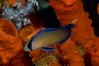 Dottyback, corals, marine life by Jaynes Gallery - various sizes