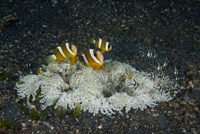 Indonesia, Sulawesi, Lembeh Strait, Marine Life by Jaynes Gallery - various sizes
