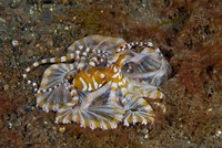 Octopus, Indonesia by Jaynes Gallery - various sizes