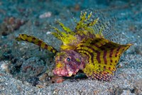 Red dwarf lionfish by Jaynes Gallery - various sizes, FulcrumGallery.com brand