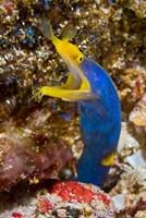 Ribbon eel marine life by Jaynes Gallery - various sizes, FulcrumGallery.com brand