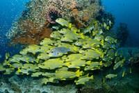 Schooling sweetlip fish swim past coral reef, Raja Ampat, Indonesia by Jaynes Gallery - various sizes
