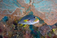 Sweetlip fish, sea fan coral Fine Art Print