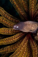 White-eye moray eel and coral by Jaynes Gallery - various sizes