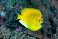 Angelfish swims in coral reef by Jaynes Gallery - various sizes