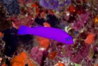 Magenta dottyback fish by Jaynes Gallery - various sizes
