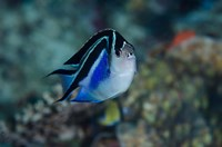 Bay Frontal view of angel fish by Jaynes Gallery - various sizes