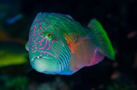 Close-up of colorful wrasse fish by Jaynes Gallery - various sizes