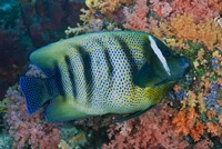 Fish and coral, Raja Ampat, Papua, Indonesia by Jaynes Gallery - various sizes