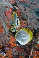 Fish swimming near coral, Raja Ampat, Papua, Indonesia by Jaynes Gallery - various sizes