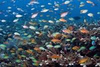 Sea of fish and coral, Raja Ampat, Papua, Indonesia Fine Art Print