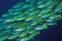 Close-up of schooling lined snappers, Komodo National Park, Indonesia by Jaynes Gallery - various sizes