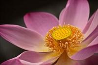 Lotus Bloom, Nyuh Kuning Village, Ubud, Bali, Indonesia Fine Art Print