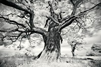 Portrait of a Tree, Study 2 Fine Art Print
