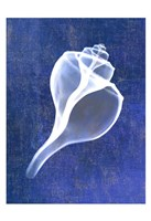 Channelled Whelk (indigo) Framed Print