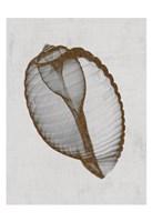 Banded Tun Shell Fine Art Print