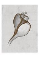 "Channelled Whelk by Bert Myers - 13"" x 19"" - $12.99"
