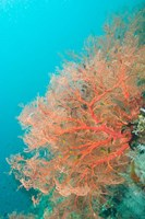 Sea Fan, Raja Ampat region, Papua, Indonesia Fine Art Print