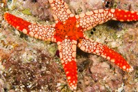 Sea Star, Banda Island, Indonesia Fine Art Print
