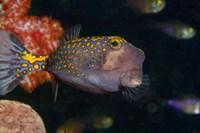 Spotted Boxfish, Banda Sea, Indonesia Fine Art Print
