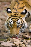 Tiger Drinking from A Creek, Ranthambore National Park, Rajasthan, India Fine Art Print