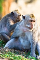 Bali, Indonesia, monkeys run in the Uluwatu temple Fine Art Print