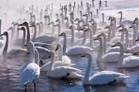 Whooper swans, Hokkaido, Japan by Art Wolfe - various sizes