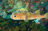 Pufferfish, Scuba Diving, Tukang Besi, Indonesia by Stuart Westmorland - various sizes - $34.49