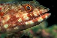 Lizardfish, Indonesia Fine Art Print